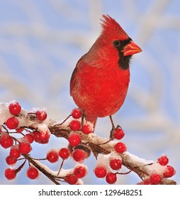 A colorful male Northern Cardinal (Cardinalis cardinalis) on a snowy branch full of bright red berries.