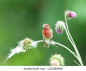 Colorful male purple finch (Haemorhous purpureus) perched on stem of a thistle plant with muted green background