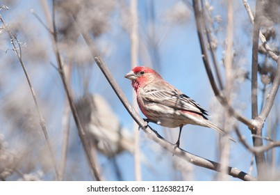 Colorful male purple finch (Haemorhous purpureus) perched on branch of tree in early spring