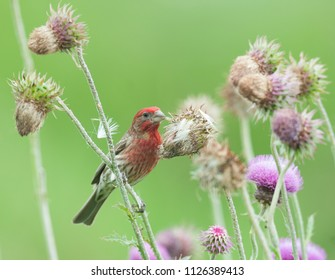 Colorful male purple finch (Haemorhous purpureus) perched on stem of thistle plant with muted green background
