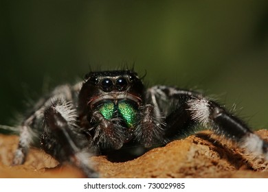Colorful male of a Regal jumping spider sitting on a branch with a green background. A colorful exotic invertebrate species on a close up horizontal picture.