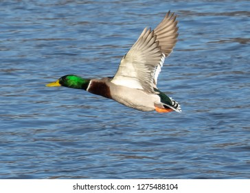 Colorful mallard drake duck in fight one drake