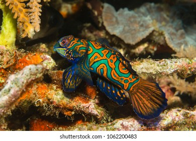 Colorful Mandarinfish (Synchiropus splendidus)