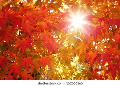 Colorful maple autumn leaves with sun beam.