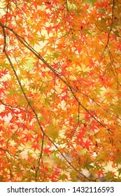 Colorful maple carpet laid in the sky
