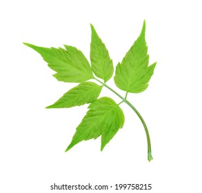colorful maple leaf isolated on white background