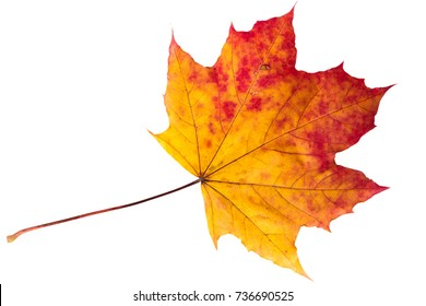 colorful maple leaf on white background