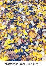 Colorful maple leaves in fall colors on the ground.