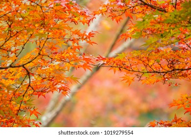 Colorful maple leaves (Momiji) during autumn in Kyoto Japan