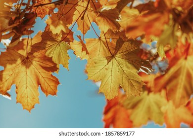 colorful maple leaves on blue sky Autumn nature Backgrounds