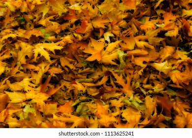 A colorful Maple & Sycamore foliage blanket covering the ground