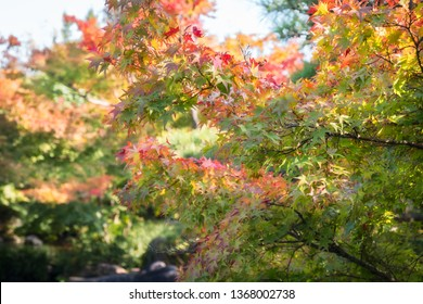 Colorful Maple tree branches in autumn on a blurred background at Koko-en Garden in Himeji, Japan,