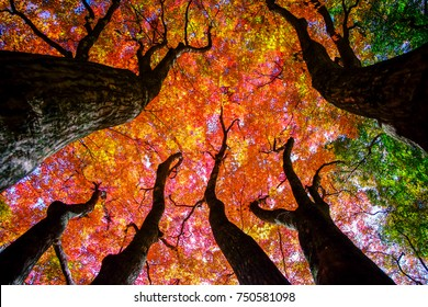 Colorful maple trees.