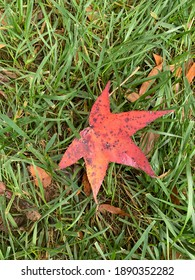 Colorful Mapleleaf on the lawn