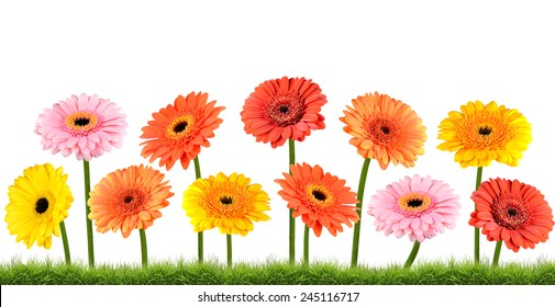Colorful Marigold  Flowers Growing in the Grass Isolated on White Isolated on White Background. Vibrant Red, Blue, Pink, Purple, Yellow White, and Orange Colors. Dahlia, Marigold, and wildflowers