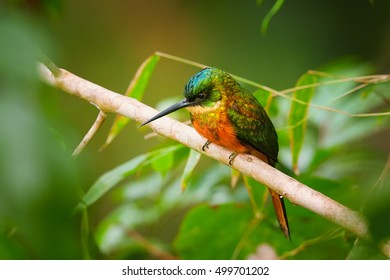 Colorful, metallic green tropical bird, Galbula ruficauda, Rufous-tailed Jacamar, perched on branch in bamboo forest, Main Ridge Forest Reserve. Tobago,Cuffie River Nature Retreat,Trinidad and Tobago.