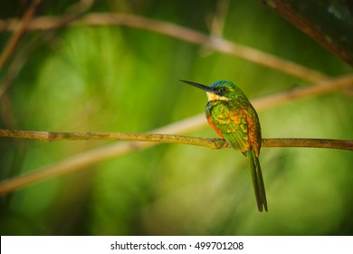 Colorful, metallic green tropical bird, Galbula ruficauda, Rufous-tailed Jacamar perched on branch in bamboo forest. Bird similar to bee-eaters. Tobago, Main ridge forest reserve. Trinidad and Tobago.