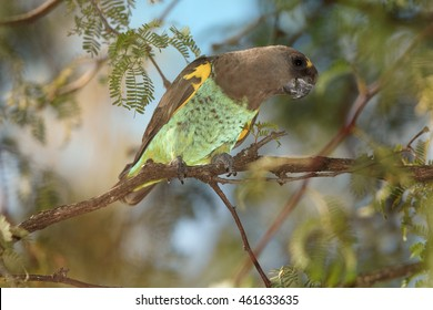 Colorful  Meyer's Parrot, Poicephalus meyeri. African parrot with bright green breast and yellow patches on wings. Zimbabwe, Hwange national park.