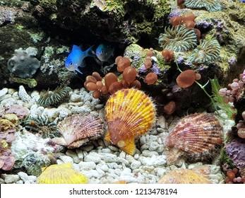 The colorful of Mimachlamys senatoria in marine aquarium. It is a genus of scallops, marine bivalve molluscs in the family Pectinidae.