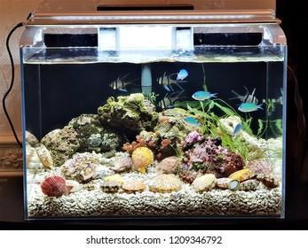 The colorful of Mimachlamys senatoria in marine nano aquarium. It is a genus of scallops, marine bivalve molluscs in the family Pectinidae.