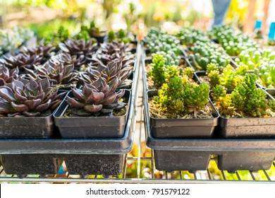 Colorful miniature desert succulent plants are on sale at a shop on a plant and gardening festival.