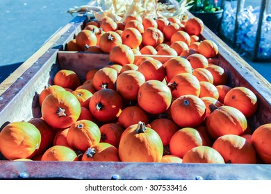 Colorful miniature orange pumpkins for sale at a Halloween pumpkin patch.