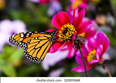 Colorful Monarch butterfly feeding on a flower.