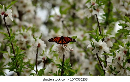 Colorful monarch butterfly on almond tree in full bloom