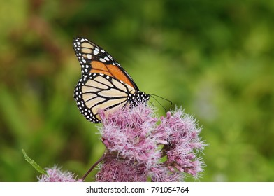 Colorful monarch butterfly sitting on the flower with blurred background.