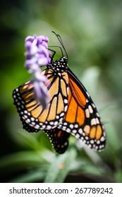 A colorful Monarch Danaus Plexippus butterfly.