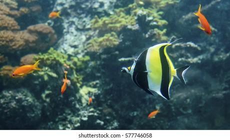 A colorful Moorish idol (Zanclus cornutus) fish swimming in a reef.