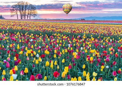 Colorful Morning Sunrise and a Field of Spring Tulips in in Yellow, Red, Orange and Hot Air Balloon