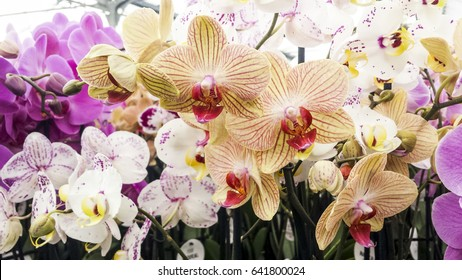 Colorful moth orchids in flower. Phalaenopsis orchids, beautiful phal hybrids.