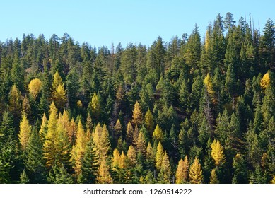 Colorful mountainside forest of larch trees at their autumn golden peak color and evergreens under a clear light blue sky. These larches, aka tamaracks, are in the WA Cascade mountains. October photo.