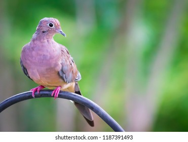 Colorful mourning dove after a rain storm on feeder pole