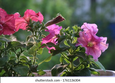 Colorful multiflora petunias is a famous flower in summer season
