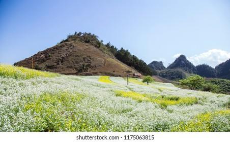 Colorful mustard field in Moc Chau highland, northwest of Vietnam