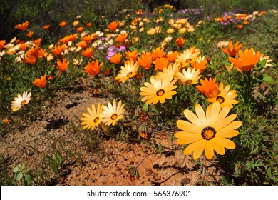 Colorful Namaqualand daisies (Dimorphotheca pluvialis), South Africa