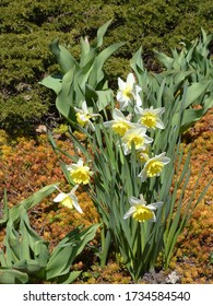 Colorful narcissus on the flower bed