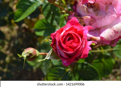 Colorful natural background with pink rose