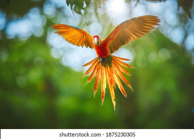 Colorful, natural hybrid form Ara macao x Ara ambigua, rare parrot, flying directly at camera with outstretched  wings. Red and orange parrot in rain forest of Costa Rica.
