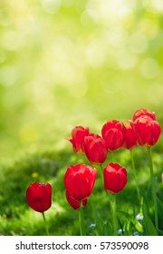 Colorful Nature Background of Tulips Flowers. Amazing Red Tulips Growing in Decorative Flowerbed in the Park Garden of Spring Sunny Day. Floral Landscape Vertical Image With Copy Space.