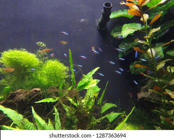 500 Neon Tetra Pictures Royalty Free Images Stock Photos And