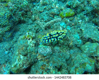 Colorful Nudibranch crawling on coral reef. Dorid nudibranch, Phyllidia sp Colorful Sea Slugs with Gills. Colorful nudibranch showing off impressive colors. Tiny nudibranch in coral reef