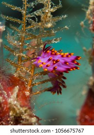 "Colorful nudibranch ""Cuthona sibogae"""