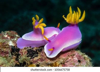 "Colorful nudibranch ""Hypselodoris apolegma"""