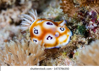 Colorful Nudibranch on a Tropical Coral Reef
