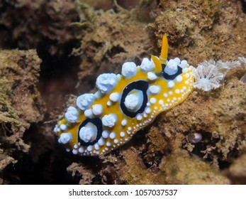 "Colorful nudibranch ""Phyllidia ocellata"""