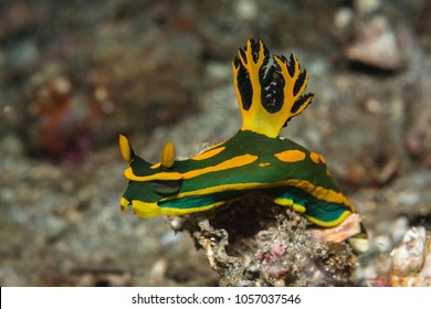"Colorful nudibranch ""Tambja gabrielae"""