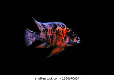The colorful of OB Peacock on isolated black background. Aulonocara OB is not found in Lake Malawi, Africa.  but rather is a man-made cichlid species. It is a popular freshwater aquarium fish.